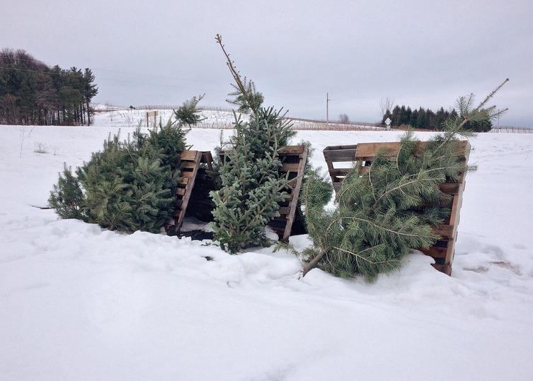 Областные лесхозы начали заготовку елок кНовому году